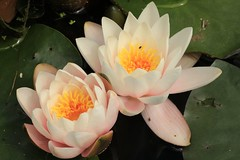 Water Lillies (WhitePointer) Tags: llandinamhall brynsiencyn anglesey ynysmon flowers gardens water waterlillies