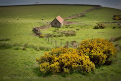 Gorse it is. (Dave Hilditch Photography) Tags: yorkshire northyorksire robinhoodsbay landscapes gorse fences walls nature