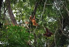 Orangutan (alida behind the camera) Tags: gunungleuser nationalpark park forest jungle rainforest orangutan biosphere ecosystem wildlife nature apes