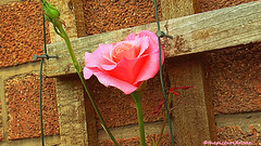Rosé pink (thepicturedrome) Tags: rosé in garden macclesfield cheshire