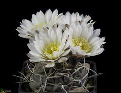 Gymnocalycium gibbosum v.brachypetalum P101 (clement_peiffer) Tags: gymnocalycium gibbosum vbrachypetalum p101 flowerscolors d7100 105mm cactaceae succulent peiffer clement nikon cactus fleurs flower spines epines kaktusi кактуси white blanc