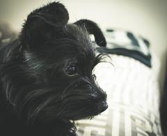 IMG_1526.jpg (JBirdPerched) Tags: dog black yorkie puppy yorkiepoo