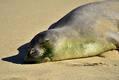Monk Seal Dozing in the Sun (River Wanderer) Tags: monkseal llioholoikauaua poipu kauai
