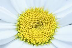 "First daisy-""Live plant"" -ODC (Karon Elliott Edleson) Tags: ourdailychallenge daisy flower macro tamron60mm canon eos7d liveplant"