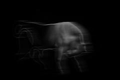 Looking at the cat (filipmnis) Tags: taurus bull blakandwhite lookingatthecatofthepreviouspage