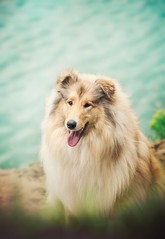 Gracja (aurorapesonen) Tags: dog outdoor lake colorful collie canon poland animalphotography animal domestic dogphotography dogmodel dogportrait dogphotographer petphotography photography portrait pe beautiful