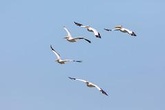Pelican Attack Squadron (jeff_a_goldberg) Tags: americanwhitepelican wildlife nature bird birdinflight bif wisconsin pelecanuserythrorhynchos manitowocharbor lakemichigan manitowoc unitedstates us