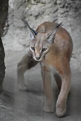 eriezoogrp2DSC_0085 (lwolfartist) Tags: caracal cat feline mammal animal nature photo