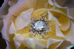 Yellow Rose (C. Burrows) Tags: yellow rose glowing pollen uvivf