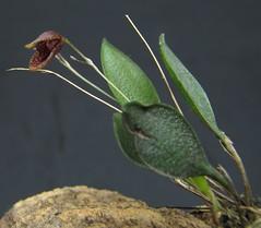 Pabstiella sp var. IVL/MG (Micro-orquídeas Roberto Martins) Tags: pabstiella sp var ivlmg pleurothallis pleurothallidenae epifitas micro microorquídeas mini orquídeas exposição orquidáceas galeria robertomicroorquideas robertoorquideas robertomicros permuta venda de coleção