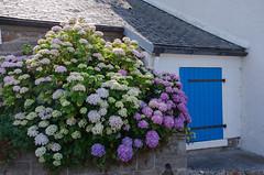 Bretagne ! (bpmm) Tags: bretagne leyaudet hortensia maison toit volet