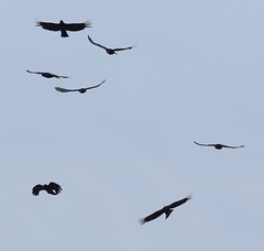 A sky full of Choughs (Robin M Morrison) Tags: havenpoint pembrokeshire wales chough flying fly inflight