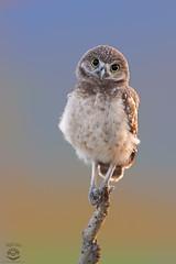 Curious Owlet (Megan Lorenz) Tags: burrowingowl owl owlet bird avian birdofprey nature wildlife wild wildanimals florida mlorenz meganlorenz getty gettyimage