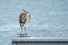 Strike a Pose (jpetcoff) Tags: heron blue water lake fish dinner evening dusk hungry prey canandaigua upstateny ny dock
