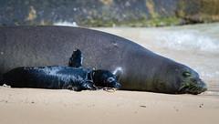 Monk Seal Rocky and pup (William Parenio) Tags: babymonkseal hawaiianmonkseal kaimanabeach monkseal monksealpup monksealrh58 monksealrocky nature oahu hawaii hawaiianisland hawaiianbeach