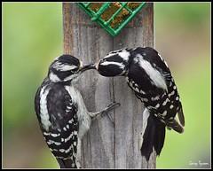 Downy Woodpecker (GaryT48) Tags: downywoodpecker dryobatespubescens tiogacounty pennsylvania feeder