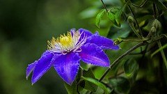 O' my sweet clematis, your bloom so short, I want your blooms,to never stop (keith_fannon) Tags: flower flora nature blue clematis canon ef70200f4lusm garden outdoor bokeh macro closeup color colour summer horticulture sweden detail poetry