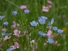 Sweet (joeke pieters) Tags: 1340787 panasonicdmcfz150 bloemen flowers blauw roze blue pink tuin garden platinumheartaward ngc npc