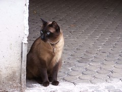 Siam (wolfgraebel) Tags: münchen munich katze cat content sitting eingang entry house street bavaria germany haidhausen pflaster furry pelz kitty portrait blaue augen blue eyes kater siamese