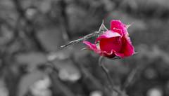 Dragonfly B&W (Simon Caunt) Tags: opening unopened nikond800 nikoncameras northyorkshire yorkshire castlehoward flower flowers flora flowershow floraandfauna afsnikkor2470mmf28 dragonfly rose photoshop ~bw ~black white ~partblackwhite blackandwhite monochromeplus selectivecolour petals bud insect dinosaur statelyhome bokeh dof depthoffield f90 postprocessing