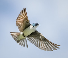 Tree Swallow (tresed47) Tags: 2017 201705may 20170510bombayhookbirds birds bombayhook canon7d content delaware flightshot folder general may peterscamera petersphotos places season spring swallow takenby treeswallow us ngc npc
