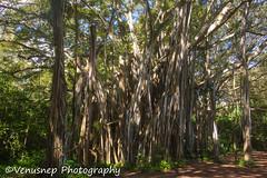 Turtle Bay 23 (venusnep) Tags: turtlebay turtle bay hawaii travel travelphotography north shore northshore may 2017 nikond610 nikon d610 banyantree banyan tree
