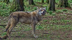 the lonesome wolf II (gabrieleskwar) Tags: outdoor wolf wolfsgehege anhold tiere