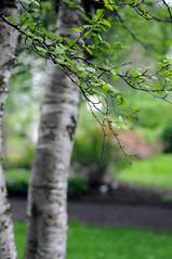 birch // HBW! (Frau Koriander) Tags: lystigarðurakureyrar akureyri botanicalgardenakureyri 65°nord knappuntermpolarkreis polarkreis flora nature natur nikond300s hbw bokeh dof happybokehwednesday bokehwednesday arctic arcticflora arcticbotanicalgarden arcticflowers plant plants outdoor pflanze pflanzen garten garden macro makro details tree baum trees treebranches zweige äste birke birch birkenart betula arcticbotanicalgardenakureyri arcticcircle zen ruhe silence leaf leaves blatt blätter birkenblätter branches sauna arcticnature birkenstamm gestreift striped tiefenschärfe minimaleschärfe dreamy green summeriniceland summer sommer arcticsummer nikkor60mmf28 park parc botanischergarten birki björk birkitré garðinum grasagarður arktisch nahaufnahme