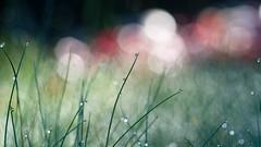 Au-delà de nos rêves (christophe.laigle) Tags: rêve dream drops macro xf60mm pluie gouttes fuji colors couleurs nature xpro2 bokeh christophelaigle ngc
