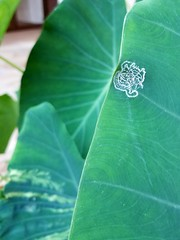 Taro (Colocasia esculenta): Spiraling whitefly (Aleurodicus dispersus) (Scot Nelson) Tags: taro colocasia esculenta spiraling whitefly leaf kalo aleurodicus dispersus