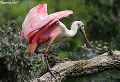"""I believe in pink."" (Shannon Rose O'Shea) Tags: shannonroseoshea shannonosheawildlifephotography shannonoshea shannon roseatespoonbill staugustinealligatorfarmzoologicalparkrookery staugustine florida flickr wwwflickrcomphotosshannonroseoshea nature wildlife waterfowl pink pinklegs pinkwings branch skinnylegs beak spoonbill bird feathers wings redeyes outdoors outdoor rookery plataleaajaja canon canoneos80d canon80d eos80d 80d canon100400mm14556lisiiusm ibelieveinpink art wildlifephotography bokeh wild"