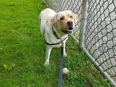 Gracie at the baseball field (walneylad) Tags: gracie dog canine pet puppy lab labrador labradorretriever cute june summer kirkstonepark baseball