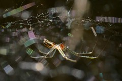 Sheet Web Weaver spider on its magical web (Treebeard) Tags: sheetwebweaver spider linyphiidae filmydomespider nerieneradiata sanmarcospass santabarbaracounty california