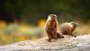 Marmot babies (scepdoll) Tags: grandtetonnationalpark wyoming marmot findyourpark wildlife animal pilgrimcreekroad marmots