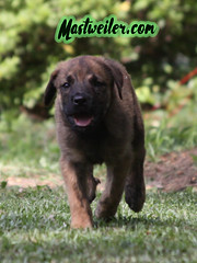Ace, 8 Weeks (muslovedogs) Tags: mastweiler dog puppy rottweiler mastiff