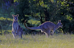 Eastern Grey Kangaroos : Goodbye . . . (Clement Tang **bbbusy**) Tags: nature nationalgeographic concordians closetonature mullummullumtrail victoria australia winter laterafternoon flies insects jumpingkangaroo marsupial macropodidae nativeanimaltoaustralia iyirrbir uwoykangand uwolkola kucha pakanh backlit
