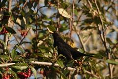 Eurasian blackbird, England (inyathi) Tags: ukwildlife uk britishwildlife britain englishwildlife england britishbirds europeanbirds birds eurasianblackbird turdusmerula