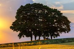 Five Trees - Upper Franconia, Germany (dejott1708) Tags: five trees upper franconia germany sunset evening fields cereals