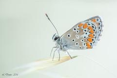 Argus bleu (Polyommatus icarus) (lolo_31) Tags: argusbleu lycaenidae papillondejour polyommatinae polyommatusicarusrottemburg1775 rhopalocères