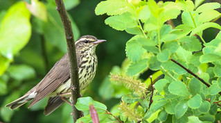 Paruline des Ruisseaux  -  Northern Waterthrush