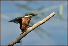 Kingfisher (image 2 of 3) (Full Moon Images) Tags: kings dyke wildlife nature reserve cambridgeshire bird kingfisher