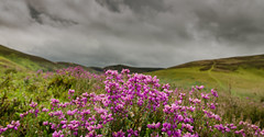 Hopes Heather (Will Gell) Tags: bell heather hopes reservoir east lothian scotland purple landscape nikon d7000 sigma 1770mm will gell