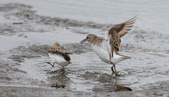 2U7A1431 (rpealit) Tags: scenery wildlife nature edwin b forsythe national refuge brigantine dunlin bird