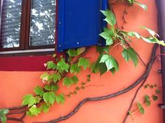 vigne vierge (jacobine2010) Tags: strasbourg neudorf ocre fenetre volet bleu couleur