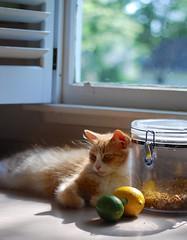 lemon-lime Jimmy with bokeh (rootcrop54) Tags: jimmy orange ginger tabby male cat window bokeh lemon lime neko macska kedi 猫 kočka kissa γάτα köttur kucing gatto 고양이 kaķis katė katt katze katzen kot кошка mačka maček kitteh chat ネコ counter countertop