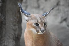 eriezoogrp2DSC_0128 (lwolfartist) Tags: caracal cat feline mammal animal nature photo