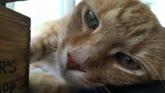 Vet Kat (real name: Ginger) (rjmiller1807) Tags: cat kitty meow ginger gingercat vetkat fat eyes feline felid iphonography iphonese 2017 june wood cute cutie