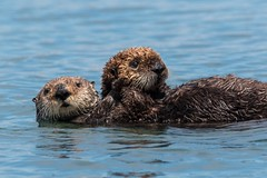 Mamma and Baby (Ryan Jeske) Tags: ca mother pup water supertelephoto wildlife sigma seaotter baby sigma150600contemporary sealife mammal canon canon70d morrobay pacificocean