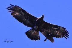 taccola che imita l'aquila (Tonpiga) Tags: tonpiga uccelliinlibertà faunaselvatica avifauna aquilareale taccola