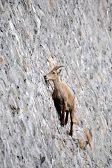 Stambecchi alla Diga del Cingino (pasta frolla) Tags: stambecchi piemonte valleantrona antronalago lagocampliccioli lagodelcingino natura bivacco acqua ruscelli cascate marmotte
